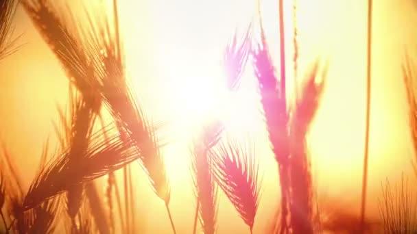 Západ slunce trávy v archivované 4k