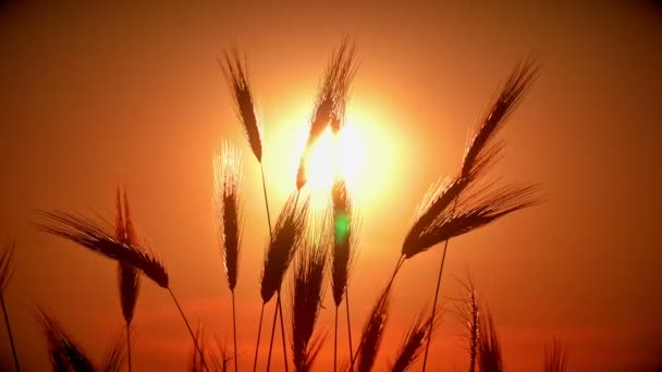 sunset grass in filed 4k