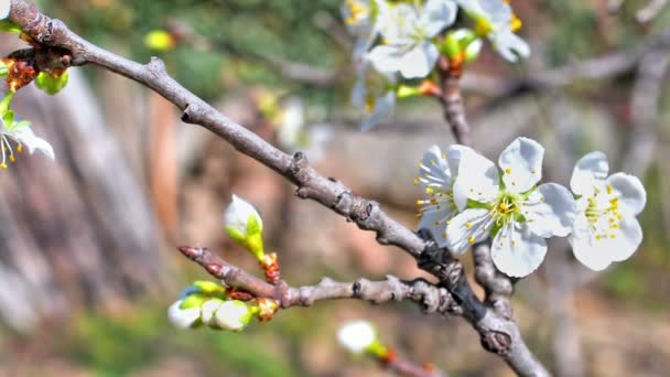 spring flowers on tree slow motion