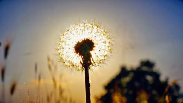 pitypang virág a nyári területen naplementekor 4k