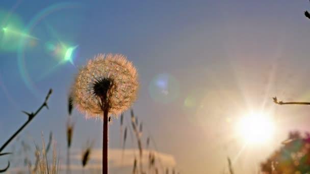 Löwenzahn Blume auf Sommerfeld in Sonnenuntergang 4k