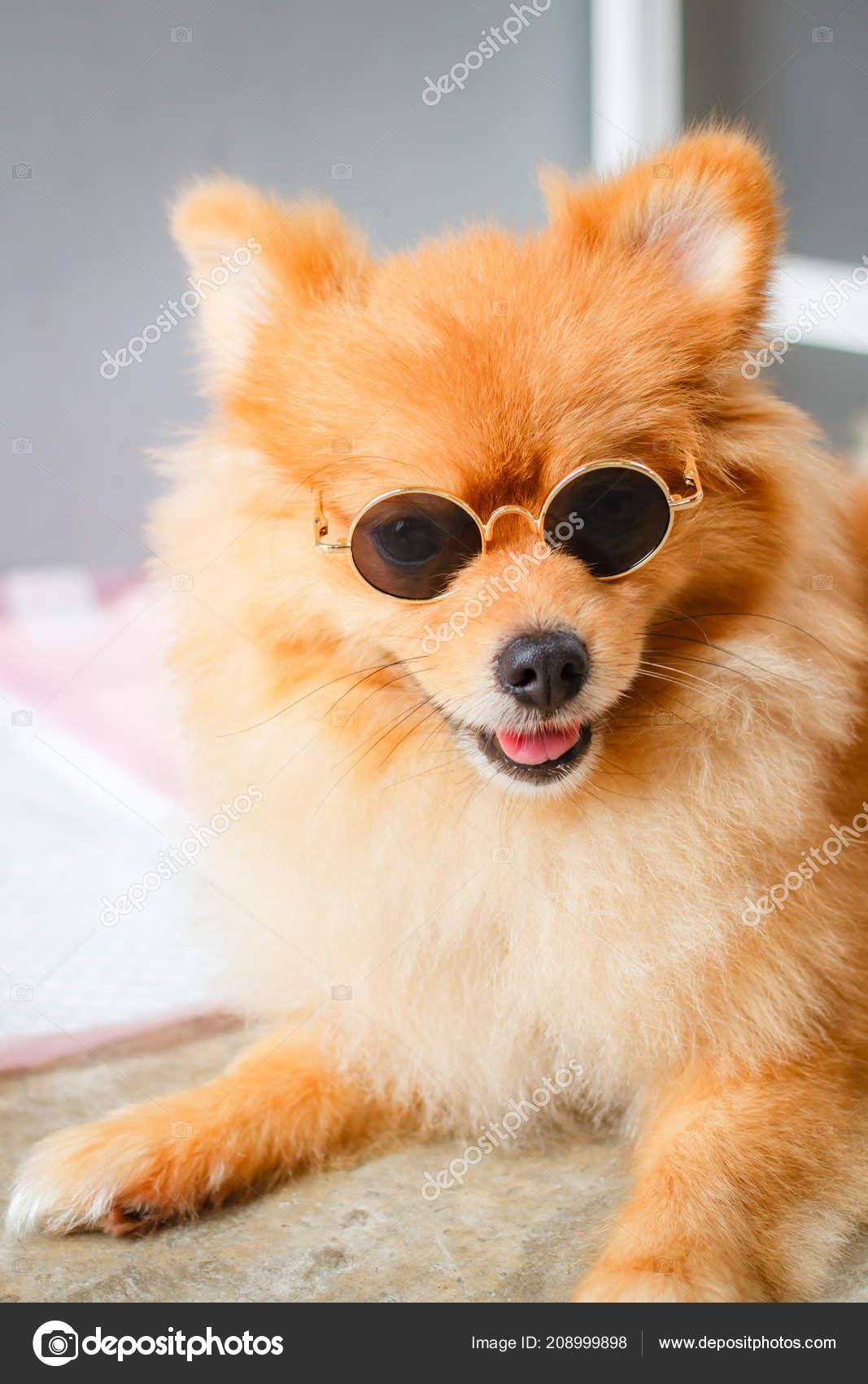 Pomeranian Dog Smile Cute Beautiful Pomeranian Dog Stock Photo C Tachjang 208999898