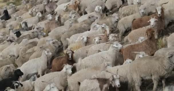 Detail ovcí a koz, chůzi přes horské svahy, populace zvířat bude invernada. Trashumancia: Tradiční, kulturní trasladation zvířat do teplejších oblastí. Neuquen, Patagonie
