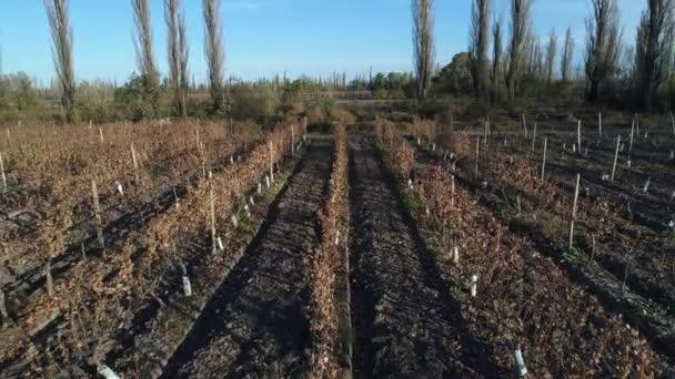 Letecká drone scéně farma, hrozny a víno produkce, plantáž v San Rafael, Mendoza, Cuyo, Argentina. Podzim, podzim. Suché řadami stromů. zahradnické sezóny. Západ slunce, zlaté hodiny s dlouhými stíny.