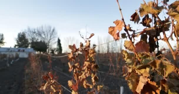 Detail suché dovolené od stromu révy na vinici pro výrobu vína držet s drátem. Podzimní období. Fotoaparát, přesun dolů. Západ slunce zlaté hodiny