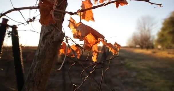 Vinice v podzimní západ slunce, slunce blacklight a světlice. Kamera se pohybuje kolem vinic struktury dřeva a listů hroznů rostliny. Uco údolí, Mendoza, Argentina. Produkce vína.