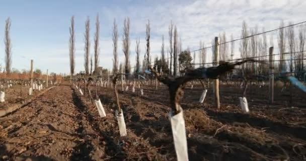 Chůze podél lineární plantáže hroznů, vinice. Zimní sezóna. Detail rostlin. Produkce vína, nápojový průmysl. Mendoza, Argentina