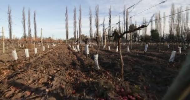 Wandern entlang der linearen Plantage von Trauben, Weinberg. Wintersaison. Detail der Pflanzen. Weinproduktion, Getränkeindustrie. Mendoza, Argentinien