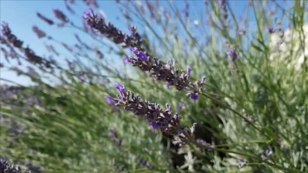 Nahaufnahme von Lavendelblüten