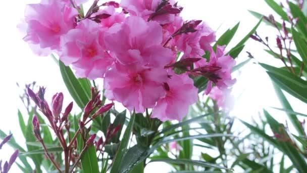 růžová květina Nerium oleandr po deštivém dni. detail, 4k