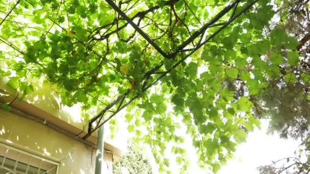 Background with grape leaves and young grapes on vine. 4k,