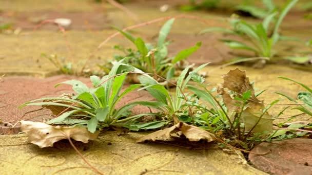 Zelená tráva roste přes šindele. 4k, dolly shot