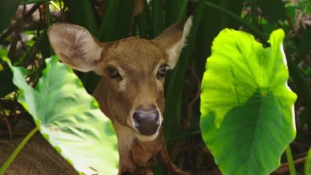 Roe žere trávu v lese, capreolus. Volně žijící srnčí zvěř v přírodě. detail
