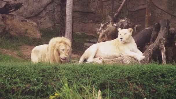 Samec a samice Bílého lva. Bílá lvi jsou barevné mutace Transvaal lva, Panthera leo krugeri, také známý jako jihovýchodní Afriky nebo Kalahari Lev.