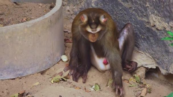 lapunder, hímivarú sertés-farkú makákó, a állatkert madárház