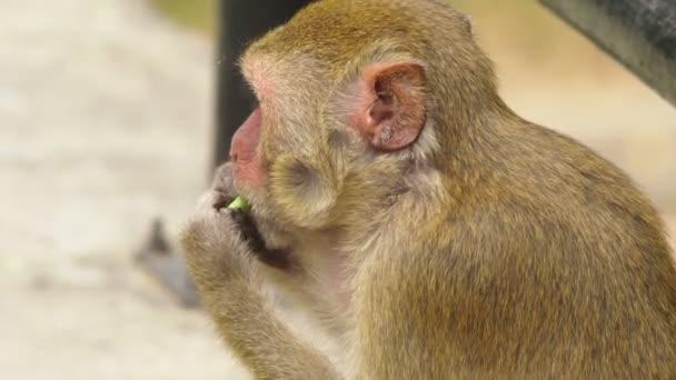 close-up. little monkey eating corn cob.
