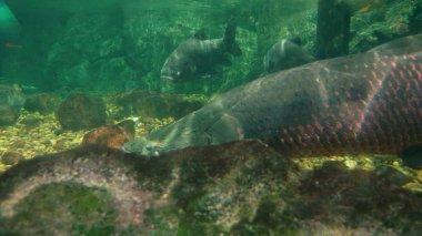 underwater world, giant fish swim under water, slope, pike, arapaima
