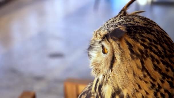 Horned sova zblízka. Eagle owl jako domácí zvíře