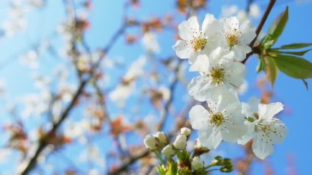 Kvetoucí strom proti modré obloze. krásné květiny na pobočce v jarním parku