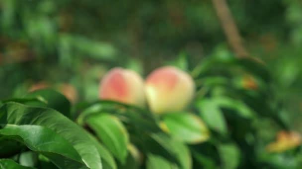 Közeli. érett lédús őszibarackot a zöld levelei között egy ágon.
