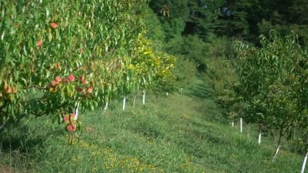őszibarack gyümölcsös. érett lédús őszibarack gyümölcsösben