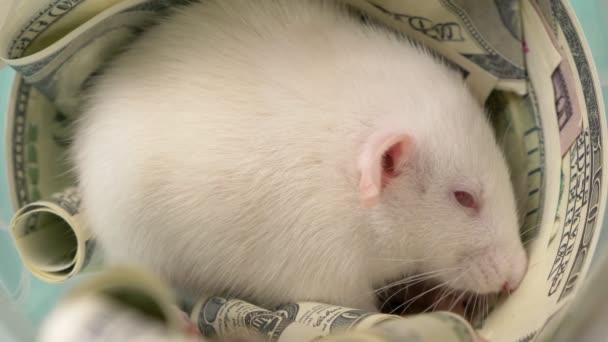 Kleine weiße Ratte machte ein Nest aus Dollars