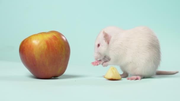 weiße manuelle kleine Rattenwäsche sitzt vor einem Apfel auf blauem Hintergrund