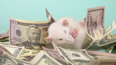 little white rat made a nest of dollars