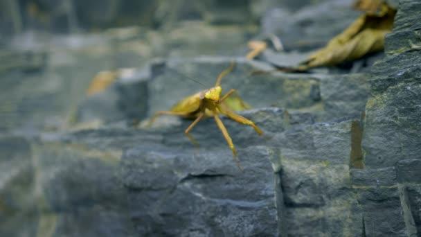 braun-grüne Gottesanbeterin auf einem Felsen. Nahaufnahme. Verkleidung als welke Blätter