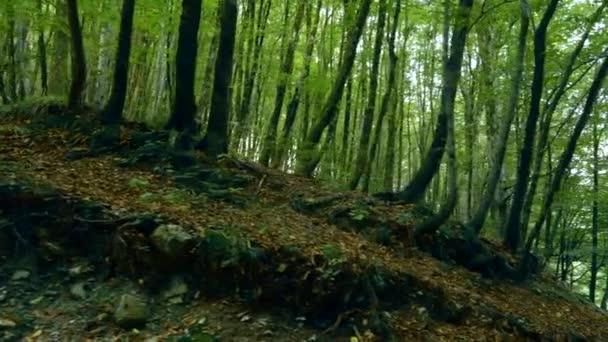 houštiny zelených stromů v horském lese.