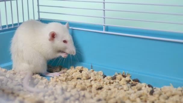 weiße Ratte im Käfig. Haustier. Tiersymbol des Jahres im chinesischen Kalender.
