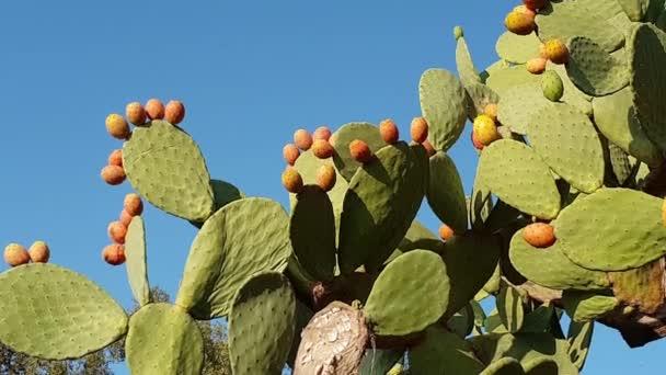 Narancssárga Kaktuszfüge nő egy kaktusz növény, Olaszország