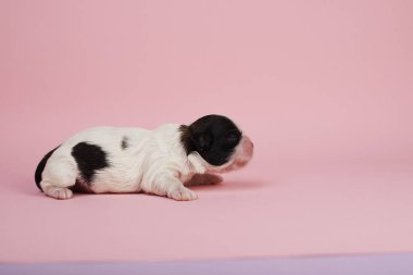 Side view of little puppy on pink background