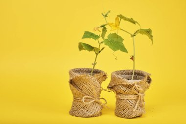 Potted plants with green leaves on yellow background