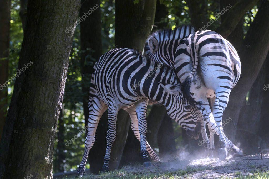 breeding rare animals in a safari