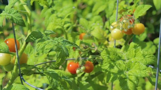 Rote und gelbe Kirschtomaten aus biologischem Anbau. Tomaten und Blätter gießen