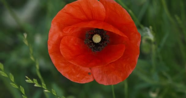Top view on red poppy flower on a background of green grass.
