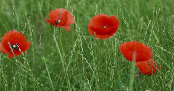 Red poppies in the park on a background of green grass in the early morning