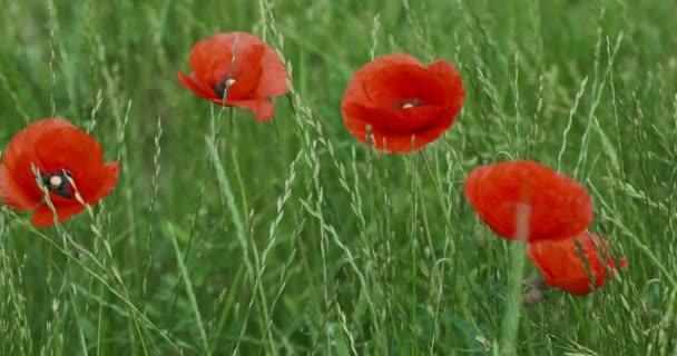 Červený mák v parku na pozadí zelené trávy v časných ranních hodinách