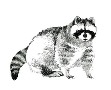 beautiful hand-drawn raccoon made with graphite pencil isolated on white