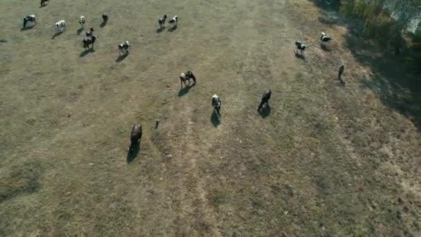Pohled shora krav na farmě ve venkovské oblasti v Sao Paulo, Brazílie