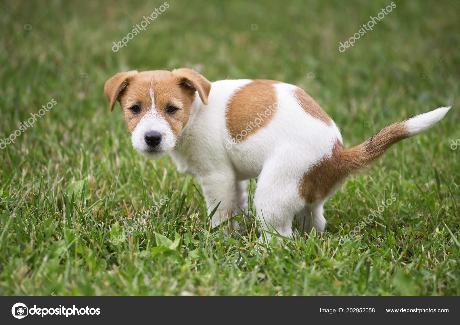 Inteligentny Cute Jack Russell Terrier Dog Puppy Doing His Toilet Pooping NF28