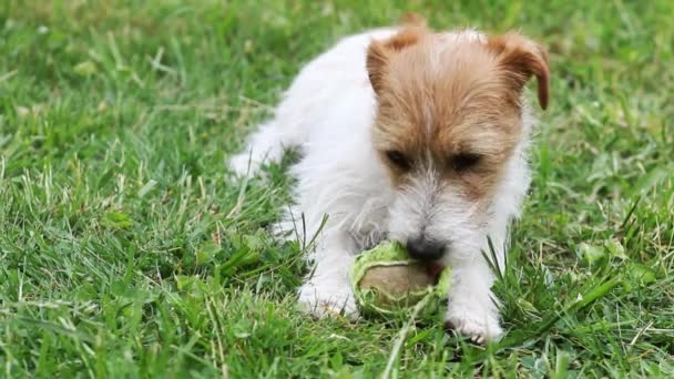 Naughty playful jack russell terrier dog puppy chewing a tennis ball, pet training concept