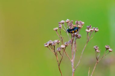 Coleoptera meloidae or blister beetle in nature