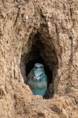 The European Roller bird chicks prepares to fly out of the hole-nest.