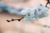 První meruňkových květů. Kvetoucí Meruňka na jasné jarní den
