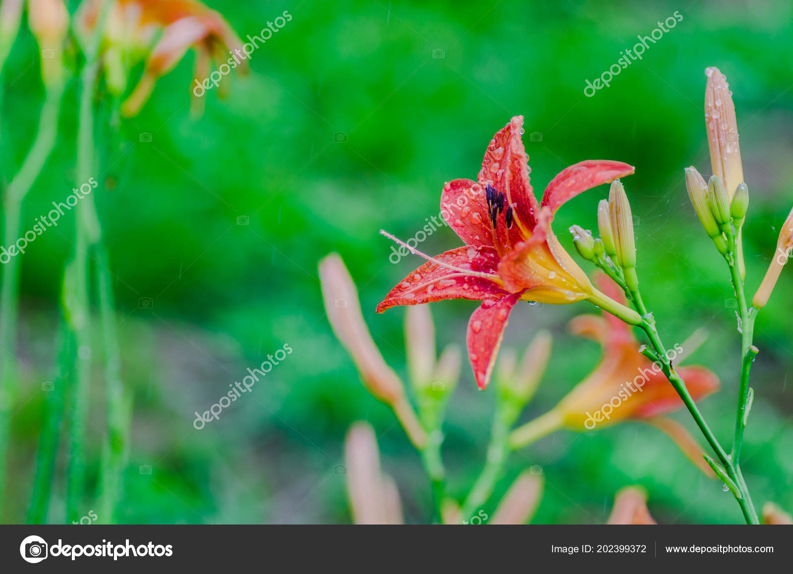 Fleur Lys Orange Ete Developpe Dans Jardin Plait Avec Floraison