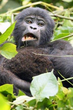 The mountain gorilla (Gorilla beringei beringei), feeding a young gorilla. Uganda gorilla lying in the green and chewing a piece of leaf.