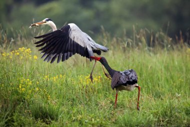 The black stork (Ciconia nigra) and gray heron (Ardea cinerea) fighting over fish. The black stork catches the wing of a flying gray heron.