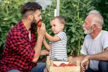 Grandfather, son and grandson picking up tomatoes and working in greenhouse together